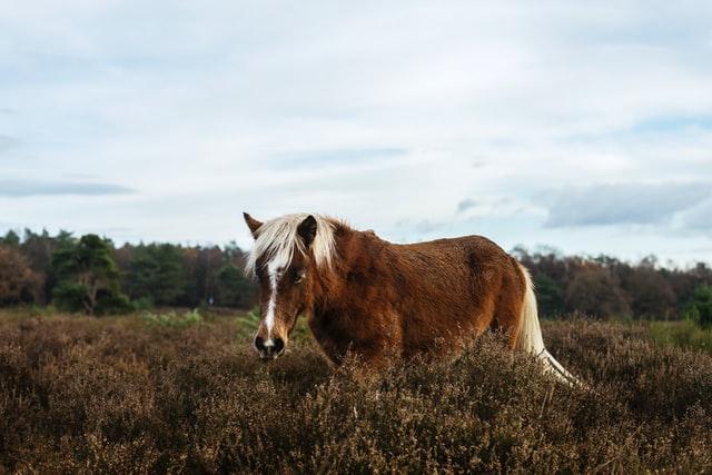Pony grazing moorland
